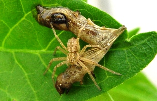 Baculovirus can be dispersed by predatory invertebrates such as this spider.  Predators generally have acid guts that do not dissolve the virus occlusion bodies.